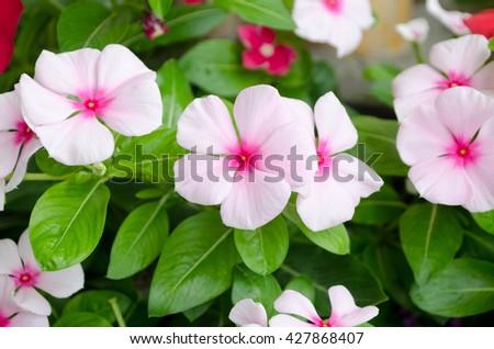 Pink Vinca flower (Madagascar periwinkle) - stock photo
