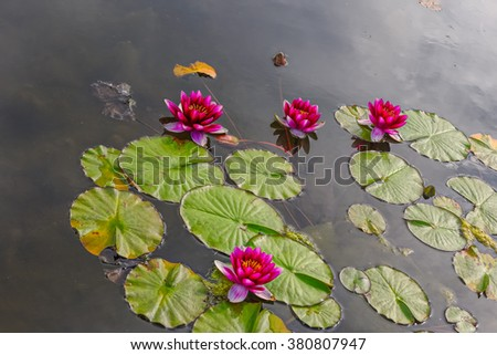 Pink water lilies (Nymphaea Alba) flower in the pond - stock photo