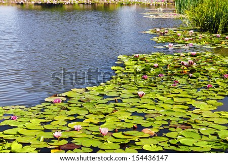 Pink water lilies on the pond. - stock photo