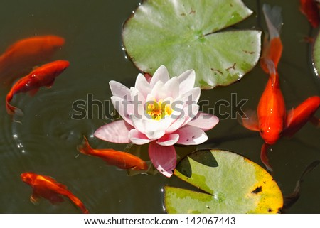 pink water lily in the lake with goldfish - stock photo