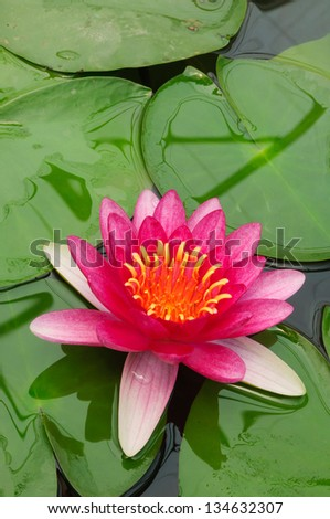 Pink water lily with green leaves on water surface - stock photo