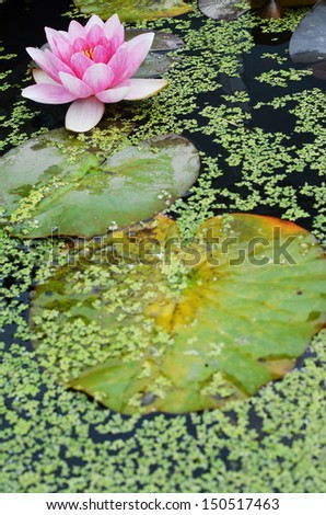 Pink water lily with lily pads in the foreground. Shallow depth of field, with focus on flower. - stock photo