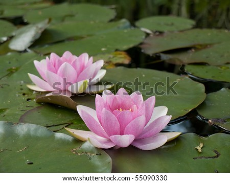 Pink Waterlily - stock photo