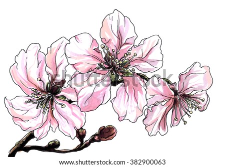 Pink white almond cherry flower blossom. Hand drawn watercolor tropical flowers on branch isolated on white background. Botanical illustration for wedding printing products, cards, invitation. - stock photo