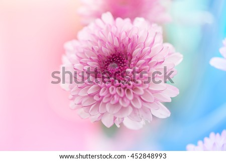 pink white chrysanthemum flowers on abstract pastel color - stock photo