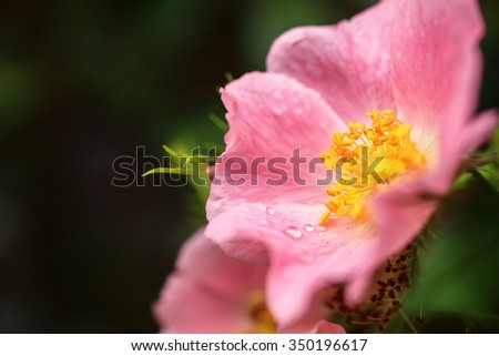 Pink wild rose flower with dew drops - stock photo
