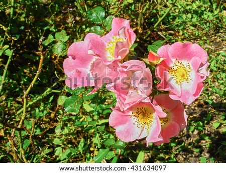 Pink wild rose in the garden. A cluster of beautiful wild rose in the garden. Lovely pink rose. - stock photo