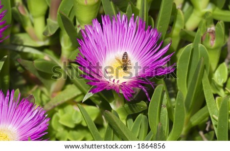 pink wildflower with a honey bee - french riviera - stock photo