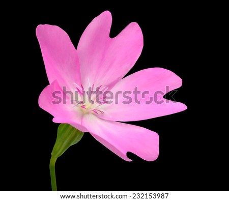 Pink WildFlower with Green Stick Isolated on Black Background. Flower has five petals and has unusuall shape - stock photo