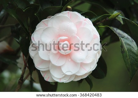 Pink with white Camellia flower,beautiful pink with white flowers blooming in the garden with raindrop in spring,closeup   - stock photo