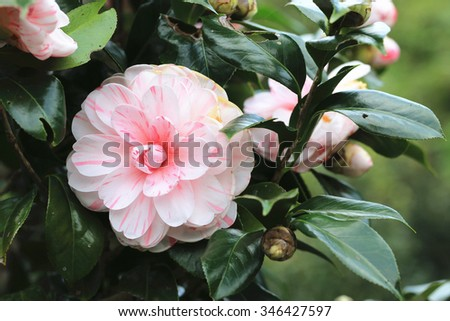 Pink with white Camellia flowers,beautiful pink with white flowers blooming in the garden in winter,closeup   - stock photo