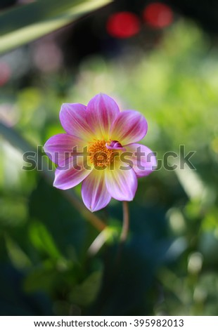 Pink with yellow dahlia flower-blooming in the outdoor garden - stock photo