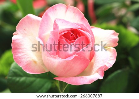 Pink with yellow rose,a beautiful rose in full bloom in the garden in spring,closeup - stock photo