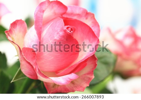 Pink with yellow roses,beautiful roses in full bloom in the garden in spring,closeup - stock photo