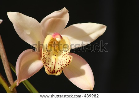 Pink Yellow Orchid Flower - stock photo