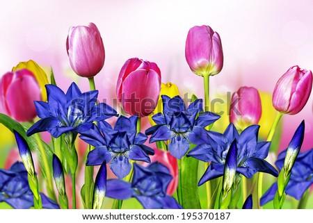 pink yellow tulips and blue irises - stock photo