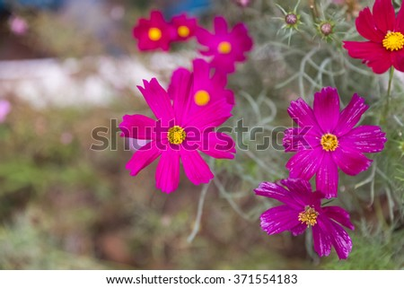 pink zinnia blooming in garden - stock photo