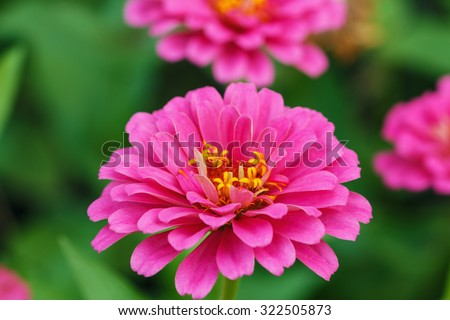 Pink zinnia  in garden with  green leaves background - stock photo