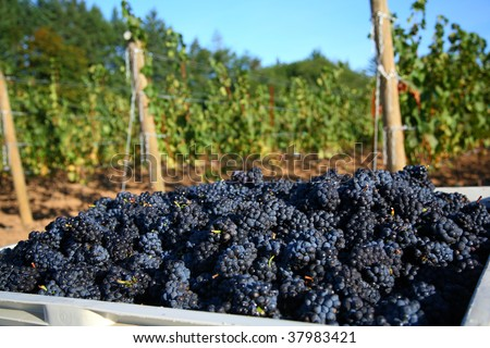 Pinot Noir grapes during harvest in the Willamette Valley of Oregon - stock photo