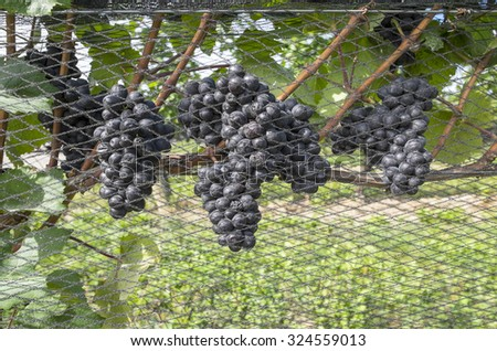 Pinot Noir Grapes Hanging on the Vine Protected by Nets - stock photo