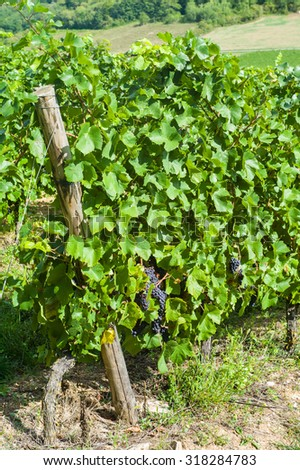 Pinot noir grapes on the vine before harvest in a vineyard in Burgundy France - stock photo