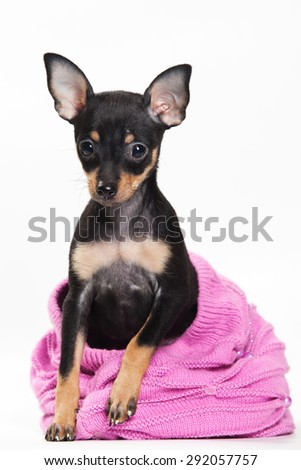 Pinscher puppy sitting and looking at the camera (isolated on white) - stock photo