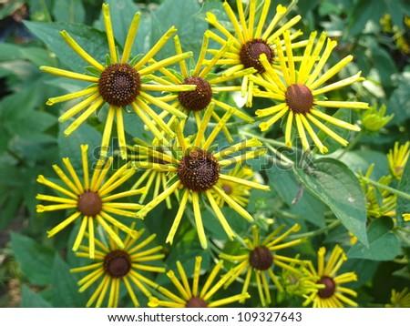 pinwheel flowers - stock photo