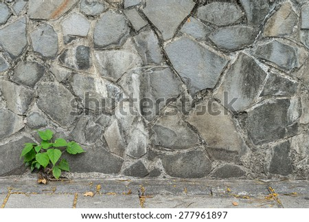 pipal leaf growing through crack in old sand stone wall, for background - stock photo