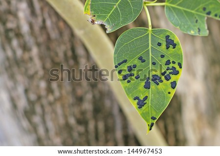 pipal leaf with the disease in the garden - stock photo
