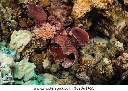 Pipe sponge in the Red sea - stock photo