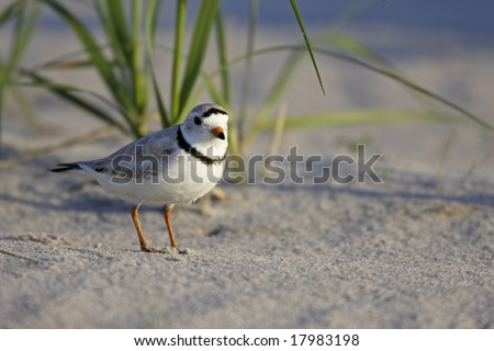 Piping Plover (Charadrius melodus) - stock photo
