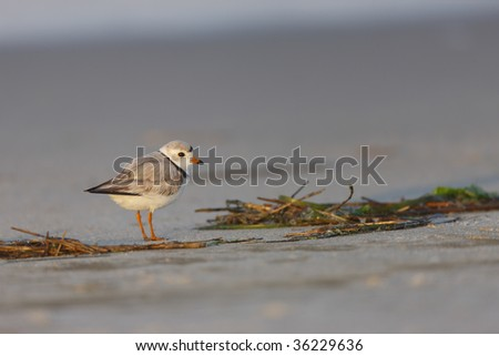 Piping Plover (Charadrius melodus), female on a sandy beach. - stock photo