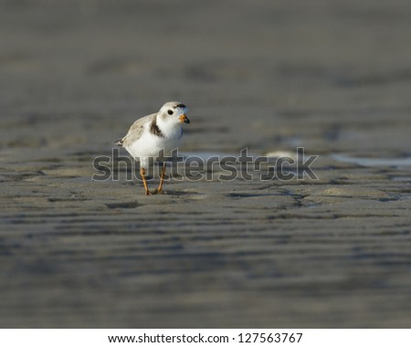 Piping plover was found walking on a sand flat in Cape Cod Mass - stock photo