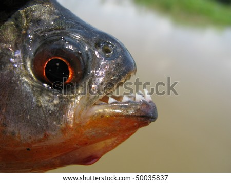Piranha Caju (Pygocentrus natterery) - stock photo