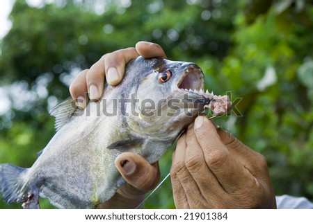 Piranha Caught By Fisherman - stock photo