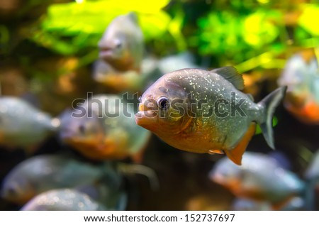 Piranha (Colossoma macropomum) in an aquarium on a green background - stock photo
