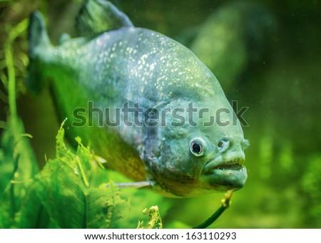 Piranha dangerous freshwater fish underwater  - stock photo