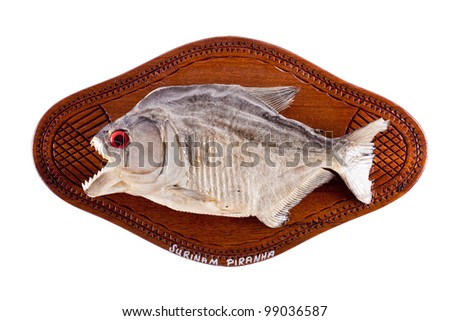 Piranha fish as trophy on wood isolated - stock photo