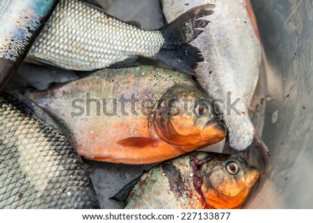 Piranha fish in a basket, in Iquitos, peru - stock photo