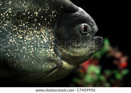 piranha fish in natural environment - stock photo