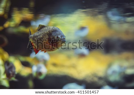 Piranha fish in the water in aquarium - stock photo