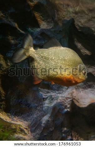 Piranha in the aquarium - stock photo