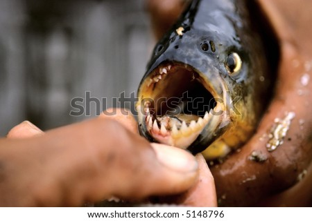 Piranha (Shallow depth of field) - stock photo