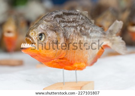 Piranha trophy in the market of Iquitos in the Amazon river. - stock photo