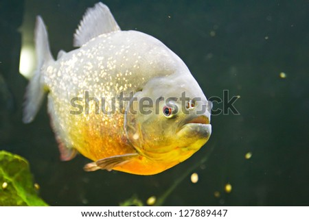 Piranha with gray-gold scale in the water - stock photo