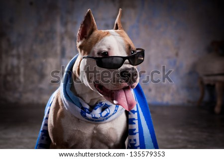 pit bull, cute, cell chain - stock photo