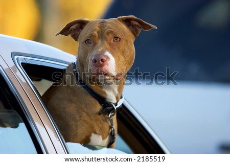 Pit Bull dog with his head out of a car window - stock photo