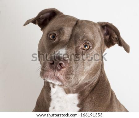 Pit bull portrait - stock photo