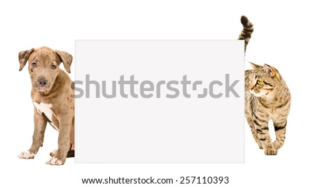 Pit bull puppy and cat Scottish Straight standing behind a banner isolated on white background - stock photo