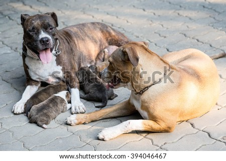 pit bull puppy dog and dog mom - stock photo